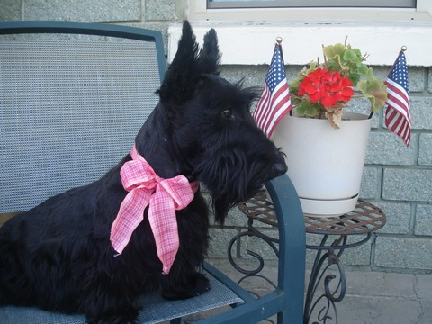 Scottish Terrier Missy